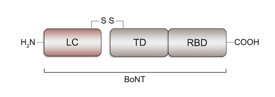 The basic structure of botulinum neurotoxin